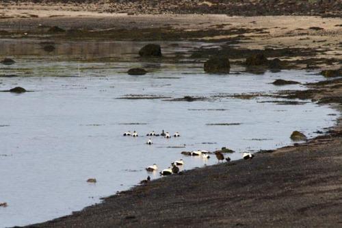 Æðarfugl við Bakkagranda fjöru